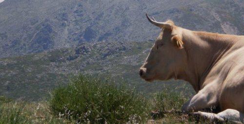Vaca pastanto en la Sierra de Guadarrama.