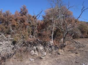 Encina afectada por la falta de hojas (foto SAFTAM)