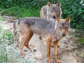 Ejemplares de lobo ibérico.