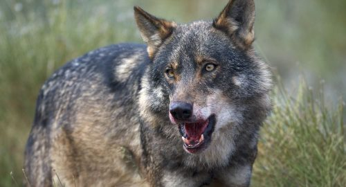 Iberian Wolf (Canis lupus sygnatus) Alpha male feeding on deer, its mouth tinted with fresh blood Controlled conditions. Granada, Spain