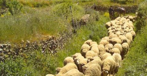 Paso de ovejas merinas por una vía pecuaria.