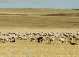 Rebaño de ovejas pastando.