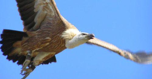 Buitre leonado en pleno vuelo.