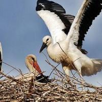 Cigüeña blanca, discreta vecina