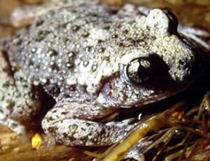 El sapo partero es uno de los anfibios amenazados en la Comunidad de Madrid.
