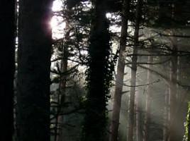 Bosque de pinos silvestre en San Rafael. (Foto: Felipe Colorado).