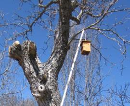 Colocación de una de las cajas nido en Horcajuelo de la Sierra.