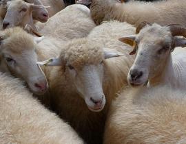 Rebaño de ovejas y cabras.
