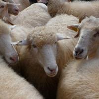 Cientos de ovejas y cabras atraviesan el Guadarrama