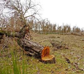 Uno de los árboles talados de La Chopera, donde se ubicará el hospital de Villalba y al que se oponen los ecologistas. (Foto: Salvemos la Sierra).
