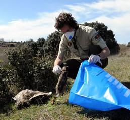 Agente forestal recogiendo un animal envenenado. (Foto: Apaf).