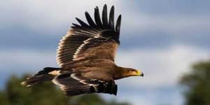 Águila imperial en pleno vuelo.