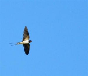 Golondrina en pleno vuelo. Ave 2014 elegida por SEO/Birdlife.