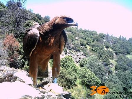 Una de las águilas-azor reintroducidas en el sureste de la Comunidad de Madrid. (Foto Grefa).