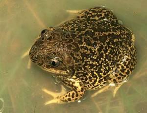 ¿Qué pasaría si desaparecieran los anfibios?