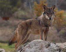 Lobo ib