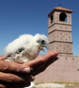 Suelta de 20 pollos de Cernícalo primilla en Quijorna