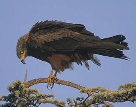 Ejemplar de milano. (Foto: SEO/BirdLife Sierra de Guadarrama).