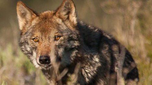 ejemplar de lobo ibérico.