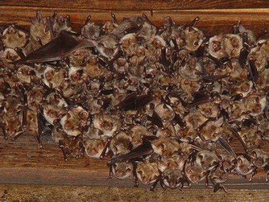 Colonia de murciélago grande ratonero.