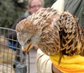Los milanos son una de las aves que mejor se ha adaptado a la cercanía humana.