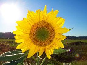 El girasol es el símbolo de las energías renovables.