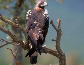 El águila imperial ibérica es una de las aves emblemáticas que surcan el Guadarrama. (Foto: MARM).