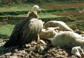 Buitre leonado devorando el cadaver de una oveja.