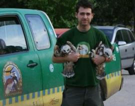 Pollos volantones de águila azor perdicera. (Foto: Grefa).