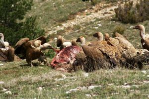 Buitres leonados alimentándose de un cadáver.