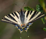Mariposa chupaleches. (Foto: Tenada del Monte).