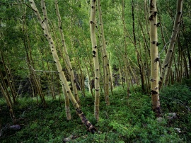 Bosque de abedules.