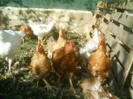 Pollos de corral.