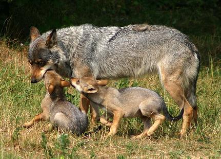 Lobo ibérico con dos lobeznos.