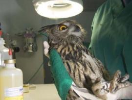 Una de las aves tratadas en Brinzal.