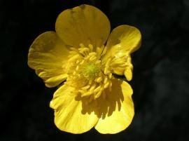 Flor de la jara.