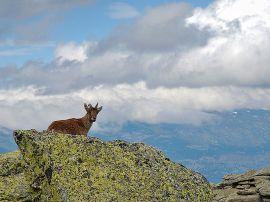 Una cabra montés en la Najarra, Sierra de Guadarrama. (Foto: Guimir).