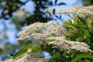 Saúco en flor.