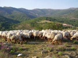 Rebaño de ovejas en la Sierra del Rincón.