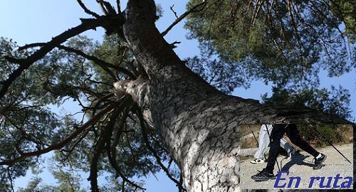 El pino de la cadena.