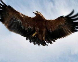 Águila imperial en vuelo.