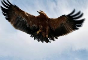Ejemplar de águila imperial.
