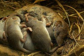 Musaraña hembra amamantando a sus crías. Foto: Manolo Castro.