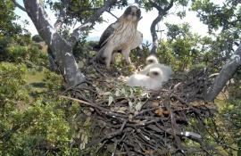 Águila calzada junto a sus dos pollos. (Foto: uan Pablo Fuentes Serrano).