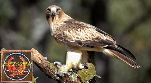 Águila calzada, el cazador silencioso.