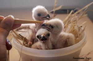 Pollos de cernícalo primilla. (Foto: Grefa).