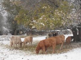 Vacas pastando bajo un fresno.