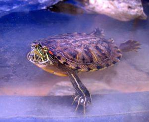 Galápago de florida, una de las especies más dañinas para nuestros reptiles autóctonos.