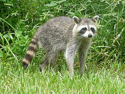 Mapache, una de las especies invasoras.