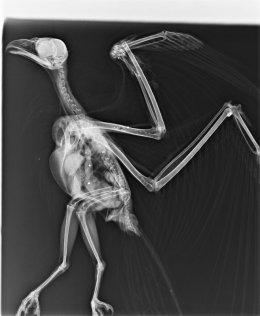 Radiografía practicada al milano real.